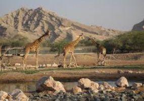 giraffs_2